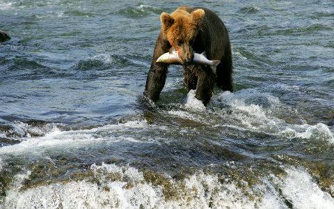 Urso e salmão
