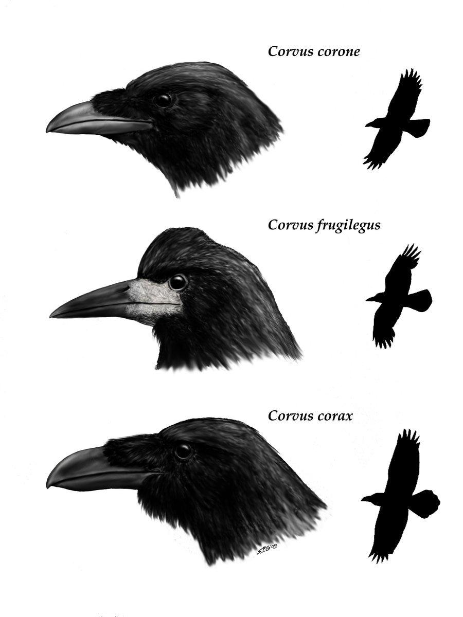 crows_by_unlobogris1
